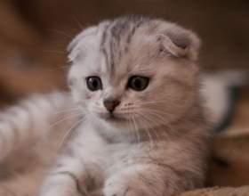 Как взять породистого котенка в красноярске фото