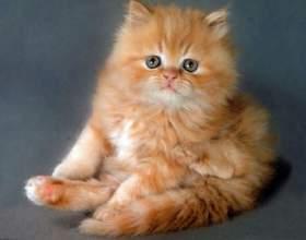 Как назвать породистого котенка фото