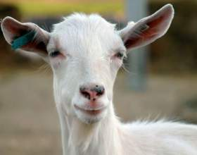 Как запустить козу фото