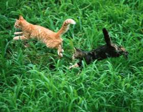 Как познакомить кошек фото