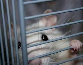 Как живут домашние крысы фото