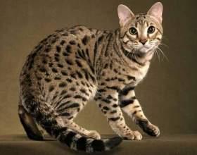 Какая порода кошек не вызывает аллергии фото