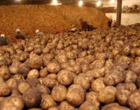 Какая температура требуется для хранения картофеля фото