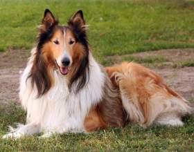 Какие имена подходят для собак породы колли фото