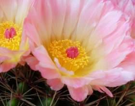 Какие кактусы часто цветут большими цветами фото