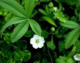 Какие травы применять для нормализации функции щитовидной железы фото