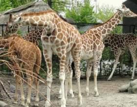 Кто такой жираф мариус фото