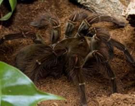 Какой самый большой паук в мире фото