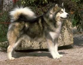 Какую собаку завести для охоты на кабана фото