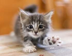 Когда давать котенку сухой корм фото