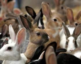 Когда нужно спаривать кроликов фото