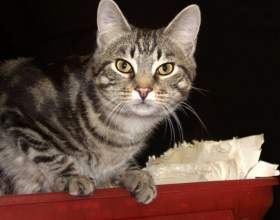 Короткошерстные породы кошек фото