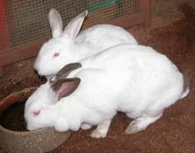 Кролик калифорнийский как лучший вариант для разведения фото
