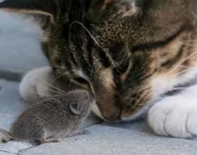 Может ли кот съесть отравленную мышку фото