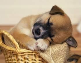 Можно ли травить блох двухмесячному щенку фото