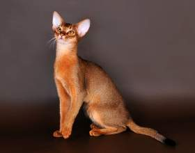 Особенности кошек абиссинской породы фото