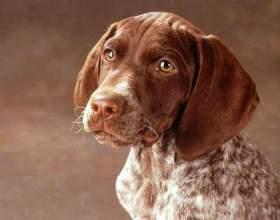 Особенности протекания беременности у собак фото