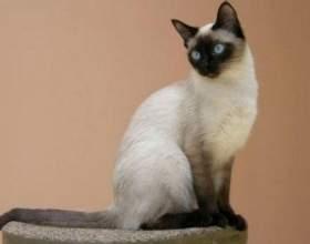 Особенности сиамских кошек фото