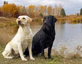 Особенности собаки породы лабрадор фото