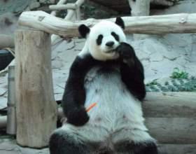 Панды в зоопарке чианг мая (таиланд) фото