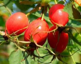 Плоды шиповника: лечебные свойства фото