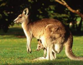 Почему кенгуру - санитары земли фото