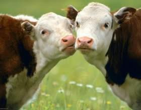 Почему коровы постоянно жуют фото
