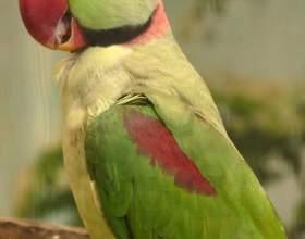 Как приручить ожерелового попугая фото