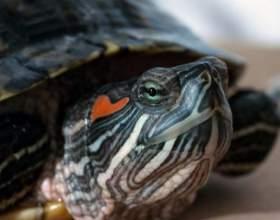 Почему у красноухой черепахи стал мягким панцирь фото