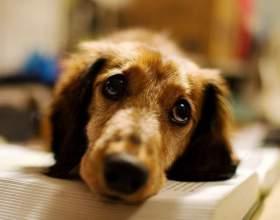 Почему у собаки наступает ложная беременность фото