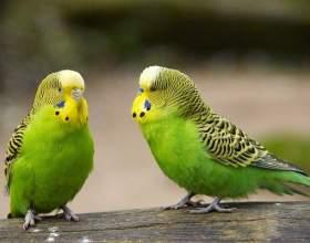 Почему умирают волнистые попугаи фото
