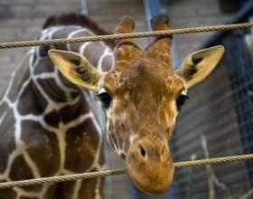 Почему в копенгагене убили жирафа фото