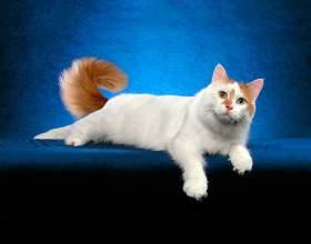 Породы кошек: анатолийская фото