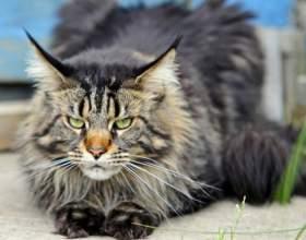Какая кошка самая большая фото
