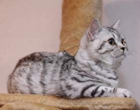 Породы кошек: скоттиш страйт фото