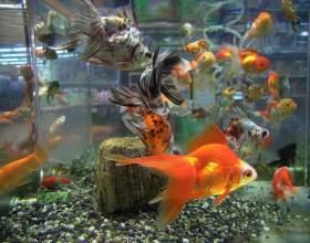 Правила приобретения золотых рыбок фото