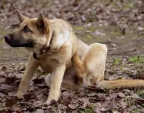 Как вылечить собаку от блох фото