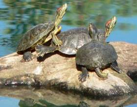 Размножаются ли в неволе красноухие пресноводные черепахи фото