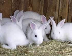 Разведение и откорм кроликов фото