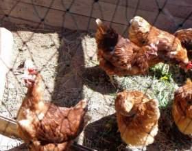 Разведение куриц: рацион питания для несушек фото