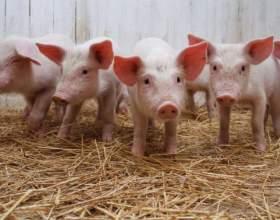 Разведение свиней: какую породу выбрать фото
