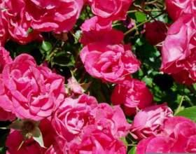 Рецепты варенья из лепестков розы и одуванчиков фото
