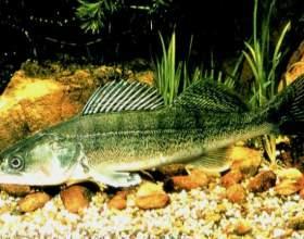Рыба судак: интересные факты и полезные свойства фото