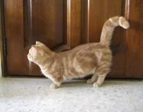 Самые маленькие породы кошек фото