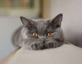 Самые популярные породы домашних кошек фото