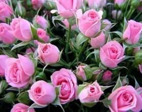Секреты выращивания роз фото