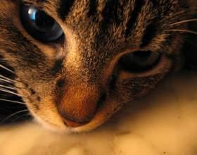 Симптомы развития чумки у кошек фото