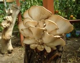 Сколько готовить грибы-вешенки фото
