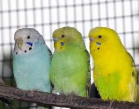 Сколько живут волнистые попугаи фото