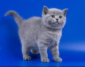 Сколько стоит котенок британца? фото